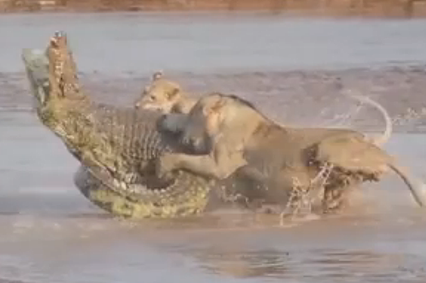 Crocodile vs alligator fight - photo#8