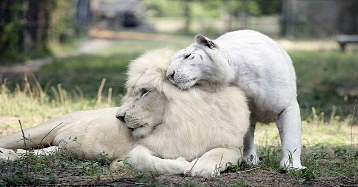 This white lion and white tiger had babies and the result ...  White Liger Cubs