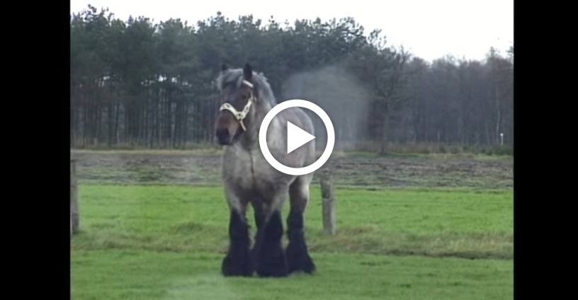 Meet Buffalo Van T Zwaluwnest One Of The Biggest Horses