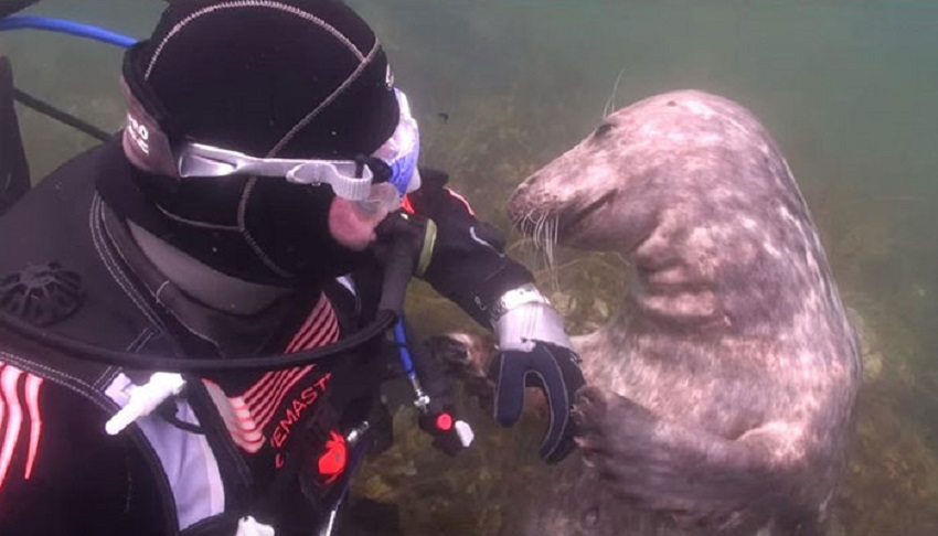 Image result for Somebody just wants his tummy tickled! Diver catches close encounter with friendly seal on underwater camera